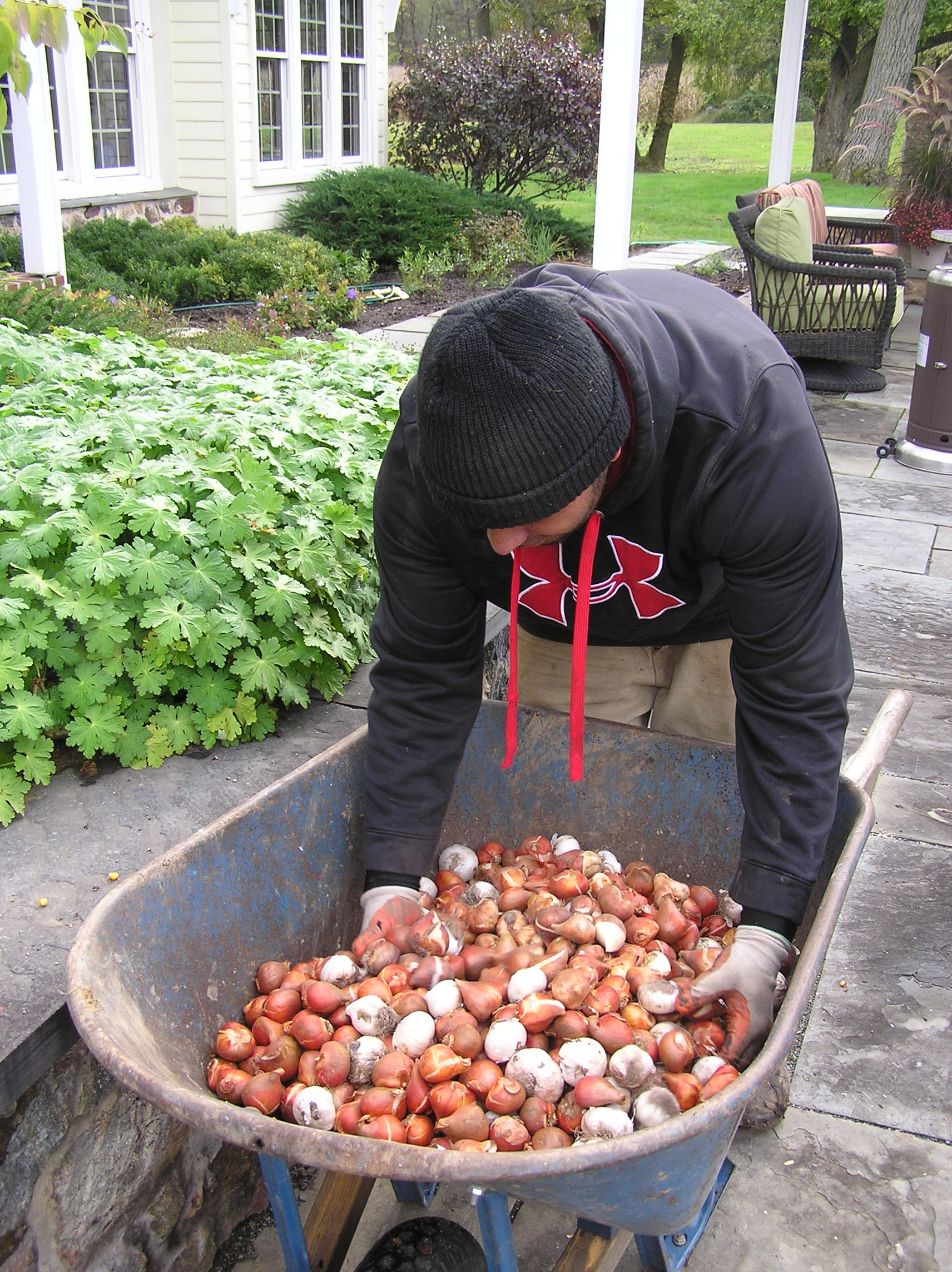 Bulb planting in the fall for early spring and summer bloom from bulbs