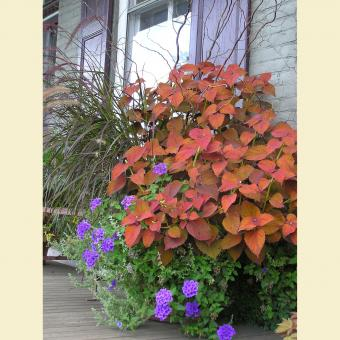 coleus in landscape pot